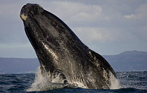 Southern right whale (Eubalaena australis) breaching, False Bay, Cape Town, South Africa.  -  Chris & Monique Fallows