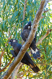 Short-billed black cockatoos (Calyptorhynchus latirostris) male (left) with preening female (right) Yanchep NP, South West Division, Western Australia. Endangered species.  -  Roland  Seitre