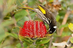 New Holland / Yellow-winged honeyeater (Phylidonyris novaehollandiae) feeding on on nectar of Banksia flower, Banksia Farm, Mount Barker, South West Land Division, Western Australia  -  Roland  Seitre