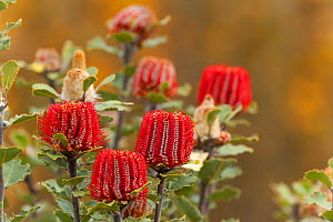 Scarlet Banksia (Banksia coccinea) in flower, Banksia Farm, Mount Barker, South West Land Division, Western Australia  -  Roland  Seitre