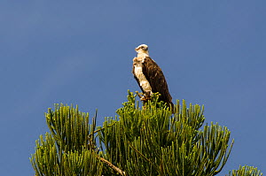 Osprey (Pandion haliaetus) with feathers ruffled the wind, in Araucaria tree, Poindimie, North Province, New Caledonia - Roland  Seitre