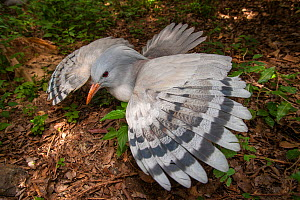 Kagu (Rhynochetos jubatus) with wings spread in defensive display to protect nest, captive, Parc zoologique et forestier / Zoological and Forest Park, Noumea, South Province, New Caledonia. Endangered...  -  Roland  Seitre