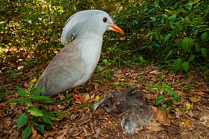Kagu (Rhynochetos jubatus) at nest with chick,  captive, Parc zoologique et forestier / Zoological and Forest Park, Noumea, South Province, New Caledonia. Endangered species - Roland  Seitre