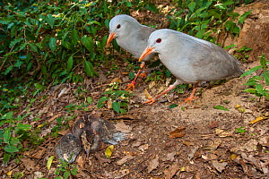 Kagu (Rhynochetos jubatus) pair at nest with chick, captive, Parc zoologique et forestier / Zoological and Forest Park, Noumea, South Province, New Caledonia. Endangered species - Roland  Seitre