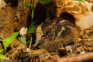 Kagu (Rhynochetos jubatus) chick on forest floor, captive, Parc zoologique et forestier / Zoological and Forest Park, Noumea, South Province, New Caledonia. Endangered species - Roland  Seitre