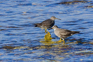 Wandering tattlers (Heteroscelus incanus) in shallow water, Touaourou mission, Yate, South Province, New Caledonia.  -  Roland  Seitre
