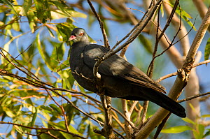 White-throated pigeon (Columba vitiensis) Noumea, South Province, New Caledonia  -  Roland  Seitre