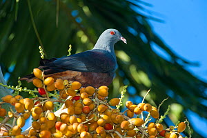 Goliath Imperial Pigeon (Ducula goliath) on fruiting tree, Touaourou mission,Yate, South Province, New Caledonia.  -  Roland  Seitre