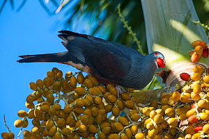 Goliath Imperial Pigeon(Ducula goliath) feeding on fruit, Touaourou mission,Yate, South Province, New Caledonia.  -  Roland  Seitre