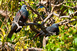 Goliath Imperial Pigeon (Ducula goliath) Touaourou mission,Yate, South Province, New Caledonia.  -  Roland  Seitre