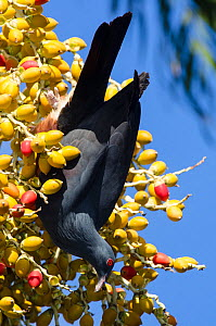 Goliath Imperial Pigeon (Ducula goliath) feeding on fruit, Touaourou mission,Yate, South Province, New Caledonia. - Roland  Seitre