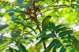 New Caledonia Red-Crowned Parakeet (Cyanoramphus saisetti) Farino, South Province, New Caledonia. - Roland  Seitre