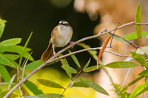 New Caledonian grass warbler (Megalurulus mariei) Poindimie, North Province, New Caledonia  -  Roland  Seitre