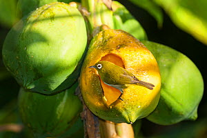 New Caledonia White-Eye (Zosterops xanthochroa) feeding on fruit, Gadji, Ile des Pins / Isle of Pines, North Province, New Caledonia.  -  Roland  Seitre