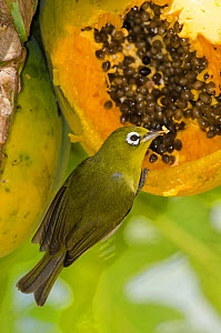 New Caledonia White-Eye (Zosterops xanthochroa) feeding on fruit seeds, Oro, Ile des Pins / Isle of Pine, South Province, New Caledonia. - Roland  Seitre