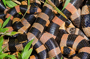 Banded Sea Kraits (Laticauda saintgironsi) coiled up together, Amedee Islet / Ilot Am�d�e, Noumea, South Province, New Caledonia.  -  Roland  Seitre
