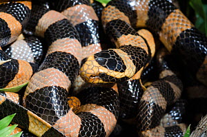 Banded Sea Krait (Laticauda saintgironsi) coiled up, Amedee Islet / Ilot Am�d�e, Noumea, South Province, New Caledonia.  -  Roland  Seitre