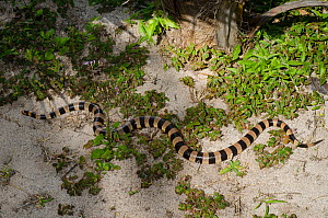 Banded Sea Krait (Laticauda saintgironsi) on beach, Amedee Islet / Ilot Am�d�e, Noumea, South Province, New Caledonia.  -  Roland  Seitre