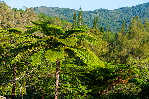Ferns in landscape, Great Fern Provincial Park / Parc des Grandes Foug�res Farino, South Province, New Caledonia, August 2012.  -  Roland  Seitre