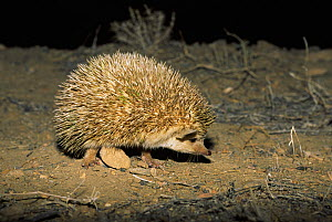 Long-eared hedgehog (Hemiechinus auritus) at night, Touran Protected Area, Iran  -  Gertrud & Helmut Denzau