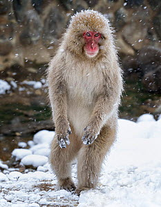Japanese Macaque (Macaca fuscata) female standing on hind legs in snow, Jigokudani, Japan. February - Diane  McAllister