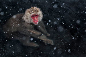 Japanese Macaque (Macaca fuscata) adult in the hot springs of Jigokudani, in the snow, Japan. February - Diane  McAllister