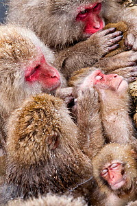 Japanese Macaque (Macaca fuscata) mothers grooming their babies in the hot springs of Jigokudani, Japan, February - Diane  McAllister