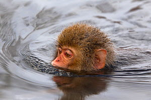 Japanese Macaque (Macaca fuscata) juvenile swimming in hot spring, Jigokudani, Japan. - Diane  McAllister