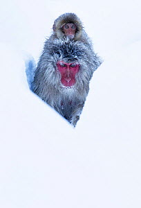 Japanese Macaque (Macaca fuscata) juvenile riding on its mother's back, along snow trail in Jigokudani, Japan.  -  Diane  McAllister