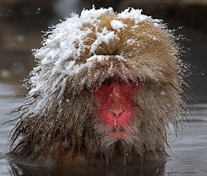 Japanese Macaque (Macaca fuscata) adult with wet snowy head in the hot springs of Jigokudani, Japan. - Diane  McAllister