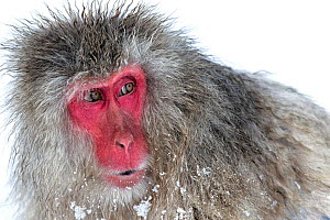Japanese Macaque (Macaca fuscata) male watching another male at the monkey park in Jigokudani, Japan. - Diane  McAllister