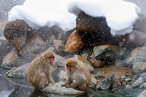 Japanese Macaque (Macaca fuscata) pair rest together on a rock near the river in Jigokudani, Japan.  -  Diane  McAllister