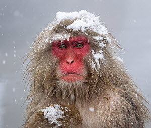Japanese Macaque (Macaca fuscata) mother holding her baby in snowstorm, Jigokudani, Japan.  -  Diane  McAllister