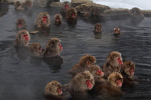 Japanese Macaques (Macaca fuscata) enjoy time soaking and grooming in the hot spring in Jigokudani, Japan. - Diane  McAllister