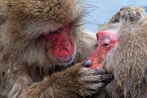 Japanese Macaque (Macaca fuscata) adult female grooming another in hotspring, Jigokudani, Japan. - Diane  McAllister