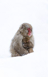 Japanese Macaque (Macaca fuscata) female holding baby close in snow, Jigokudani, Japan.  -  Diane  McAllister