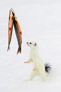 Stoat (Mustela erminea) in white winter coat, trying to get at some fish (trout) hanging on transparent fishing line. Vauldalen, Sor-Trondelag, Norway, April. - Erlend  Haarberg