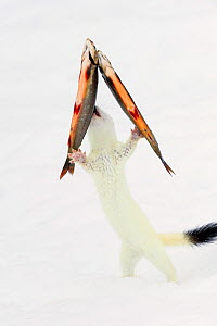 Stoat (Mustela erminea) in white winter coat, trying to steal fish (trout) hanging on transparent fishing line. Vauldalen, Sor-Trondelag, Norway, April  -  Erlend  Haarberg