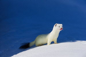 Stoat (Mustela erminea) in white winter coat. Vauldalen, Sor-Trondelag, Norway, May.  -  Erlend  Haarberg