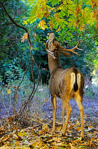 Mule deer (Odocoileus hemionus) in Yosemite valley, Yosemite National Park, California, USA, December 2012. - Jouan Rius