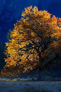 Black oak (Quercus velutina) in autumn, in Yosemite valley, Yosemite National Park, California, USA, December 2012. - Jouan Rius