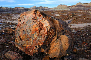 Petrified wood segment, Blue Mesa Badlands, Petrified Forest National Park, Arizona, USA, December 2012.  -  Jouan Rius