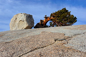 Jeffrey pine (Pinus jeffreyi) and glacial erratic boulder, Yosemite National Park, California, USA, October 2012. - Jouan Rius