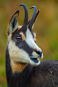 Chamois (Rupicapra rupicapra) portrait, Vosges Mountains, France. October 2012.  Highly Honoured in the wildlife category  Nature�s Best Photography Windland Smith Rice International Awards Competitio...  -  Radomir  Jakubowski