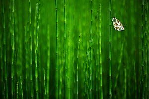 Marbled white butterfly (Melanargia galathea) on Horsetail (Equisetum), Herbitzheim near Saarbruecken, Saarland, Germany. Finalist in the Macro category and winner of the audience award in the Montpho...  -  Radomir  Jakubowski