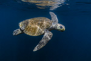 Olive ridley sea turtle (Lepidochelys olivacea) swimming in open ocean not far from the nesting beach, Pacific Coast, Ostional, Costa Rica. - Ingo Arndt