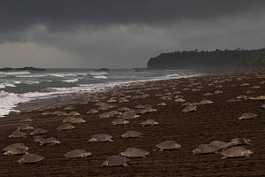 Olive ridley sea turtles (Lepidochelys olivacea) females coming ashore during an arribada (mass nesting event) to lay eggs, Pacific Coast, Ostional, Costa Rica.  -  Ingo Arndt