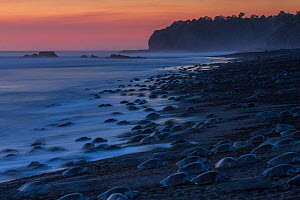 Olive ridley sea turtles (Lepidochelys olivacea) females coming ashore at sunset during an arribada (mass nesting event) to lay eggs, Pacific Coast, Ostional, Costa Rica. - Ingo Arndt