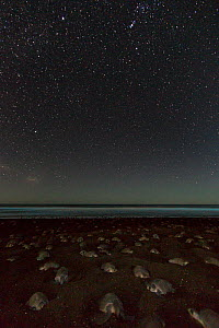 Olive ridley sea turtles (Lepidochelys olivacea) digging their nests by night with stars during an arribada (mass nesting event) to lay eggs, Pacific Coast, Ostional, Costa Rica.  -  Ingo Arndt
