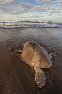 Olive ridley sea turtle (Lepidochelys olivacea) returning to sea after laying eggs, Pacific Coast, Ostional, Costa Rica.  -  Ingo Arndt